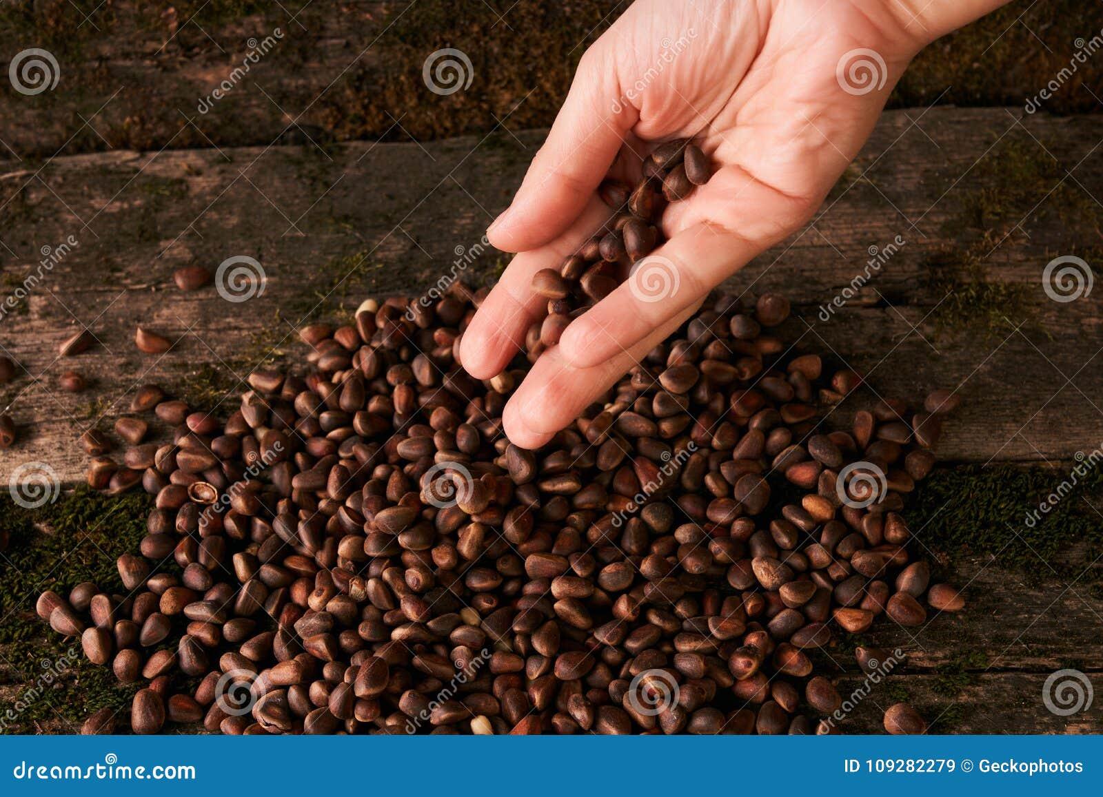 Handvol Siberische noten van de cederpijnboom