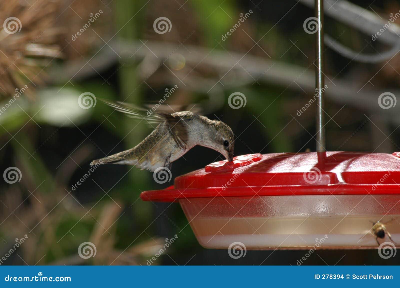 Hangende kolibrie