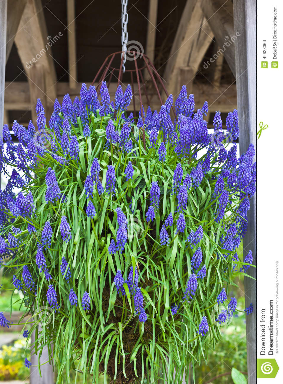 Hanging Basket With Blue Flowers Stock Photo Image