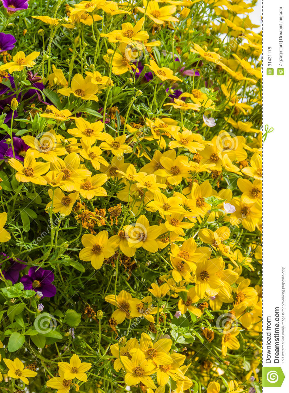 Hanging Basket Of Yellow Flowers Stock Photo Image Of Blossoms