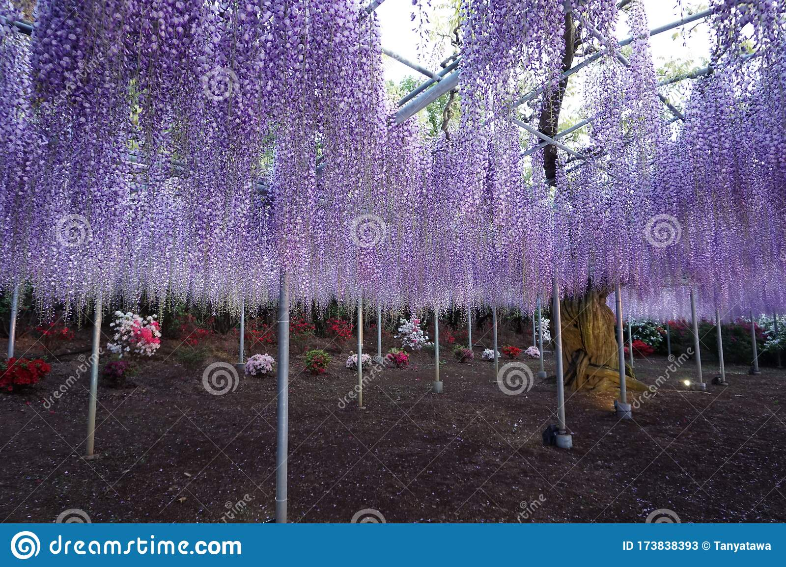 Hanging Bunches Of Purple Wisteria Tree Spring Time In Japan Stock Image Image Of Season City 173838393