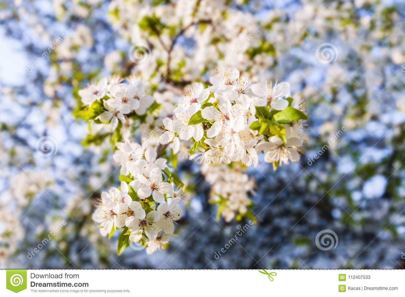 Hanging down blooming apple tree branch full of white flowers stock download hanging down blooming apple tree branch full of white flowers stock image image of mightylinksfo