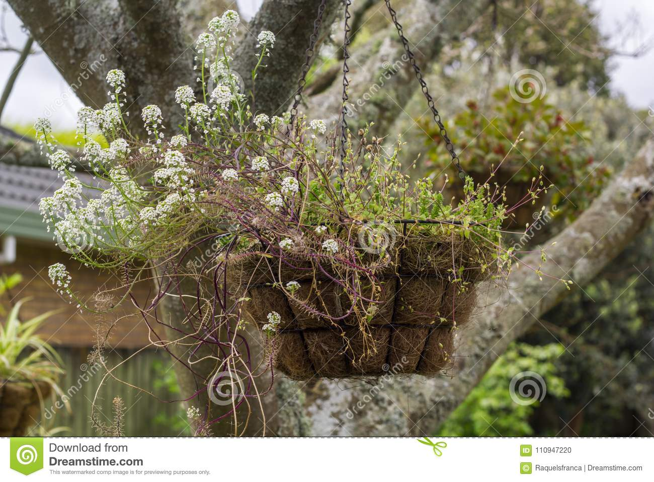 Hanging Flower Basket Stock Photo Image Of Beauty Leaf 110947220