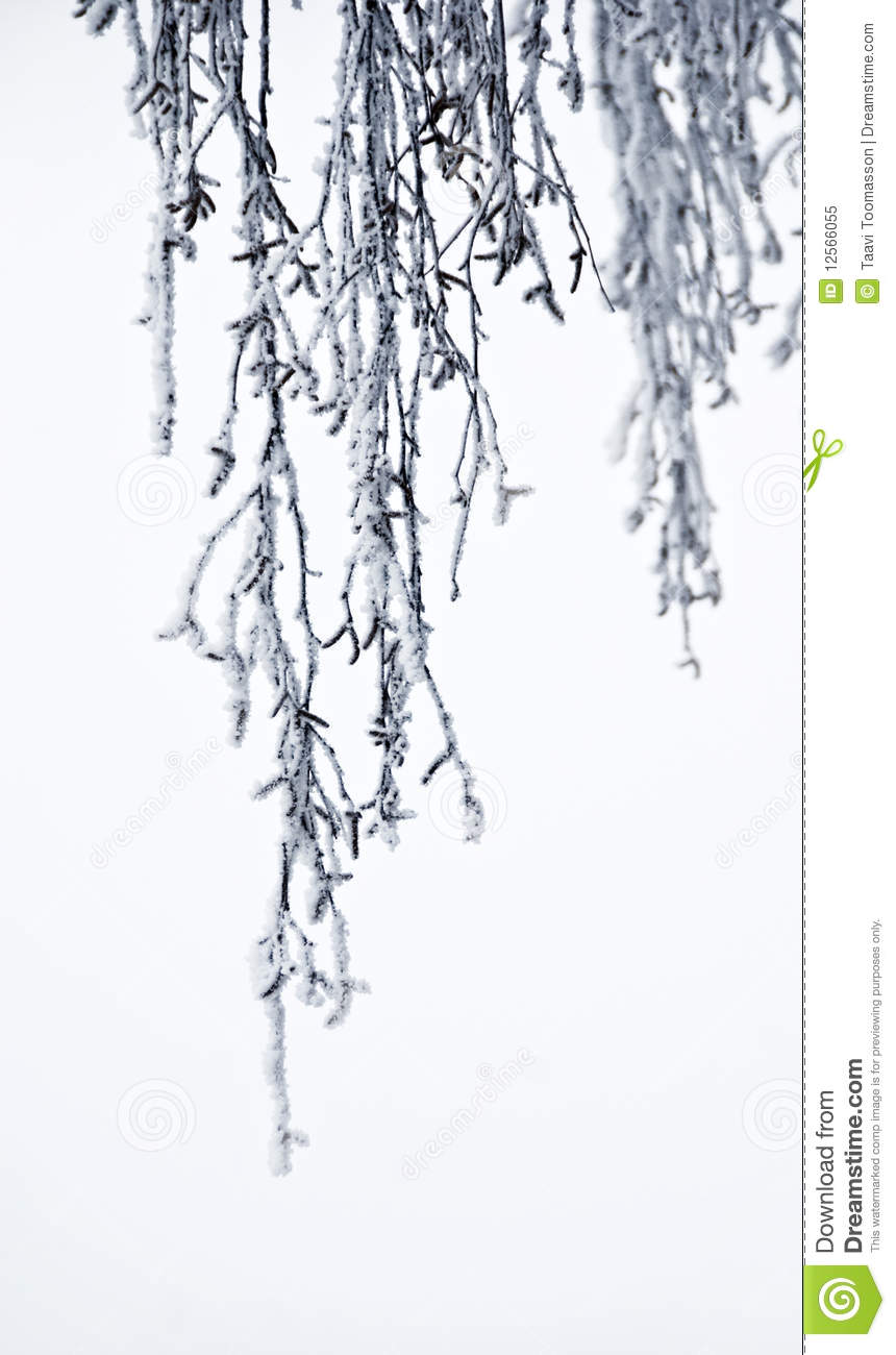 Hanging Frozen Branches Of Birch Tree Royalty Free Stock Photo - Image ...