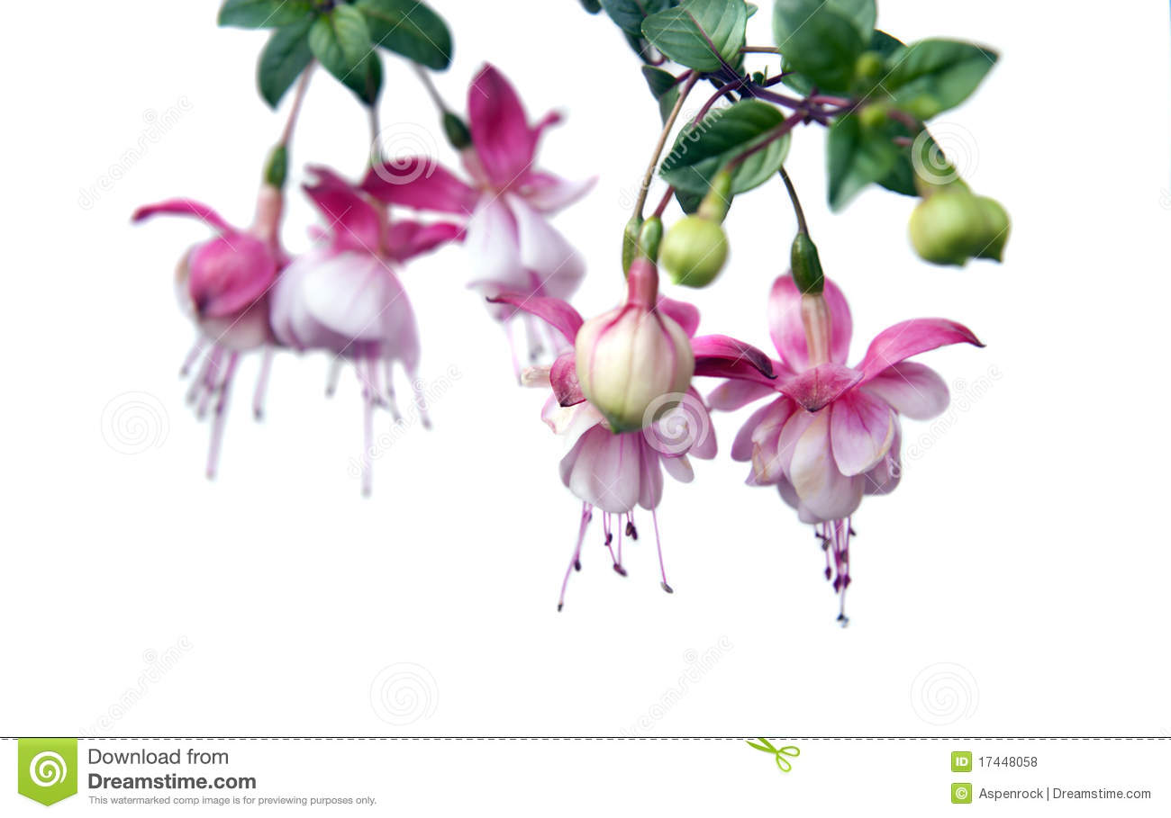 Hanging fuchsia plant stock photo image of hanging green 17448058 baby pink fuchsia flowers on white mightylinksfo