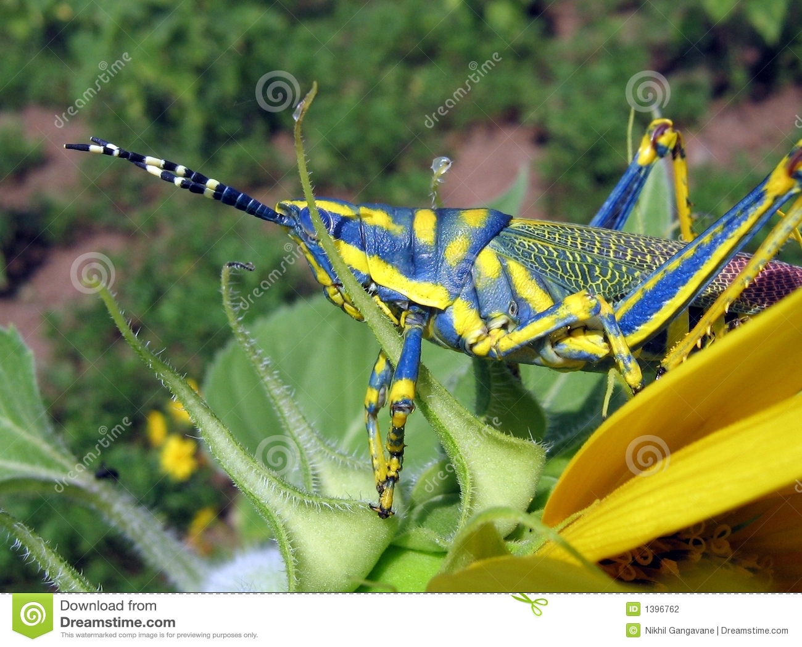 Hanging Grasshopper