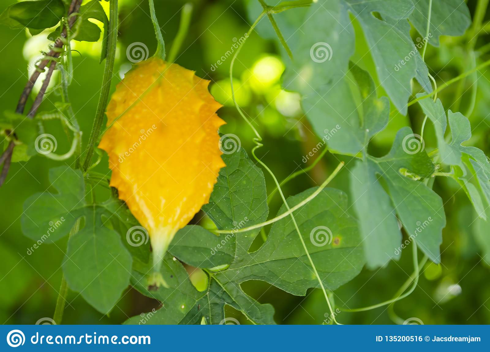 Serasee Among Leaves Of Its Vine Stock Photo - Image of green, known