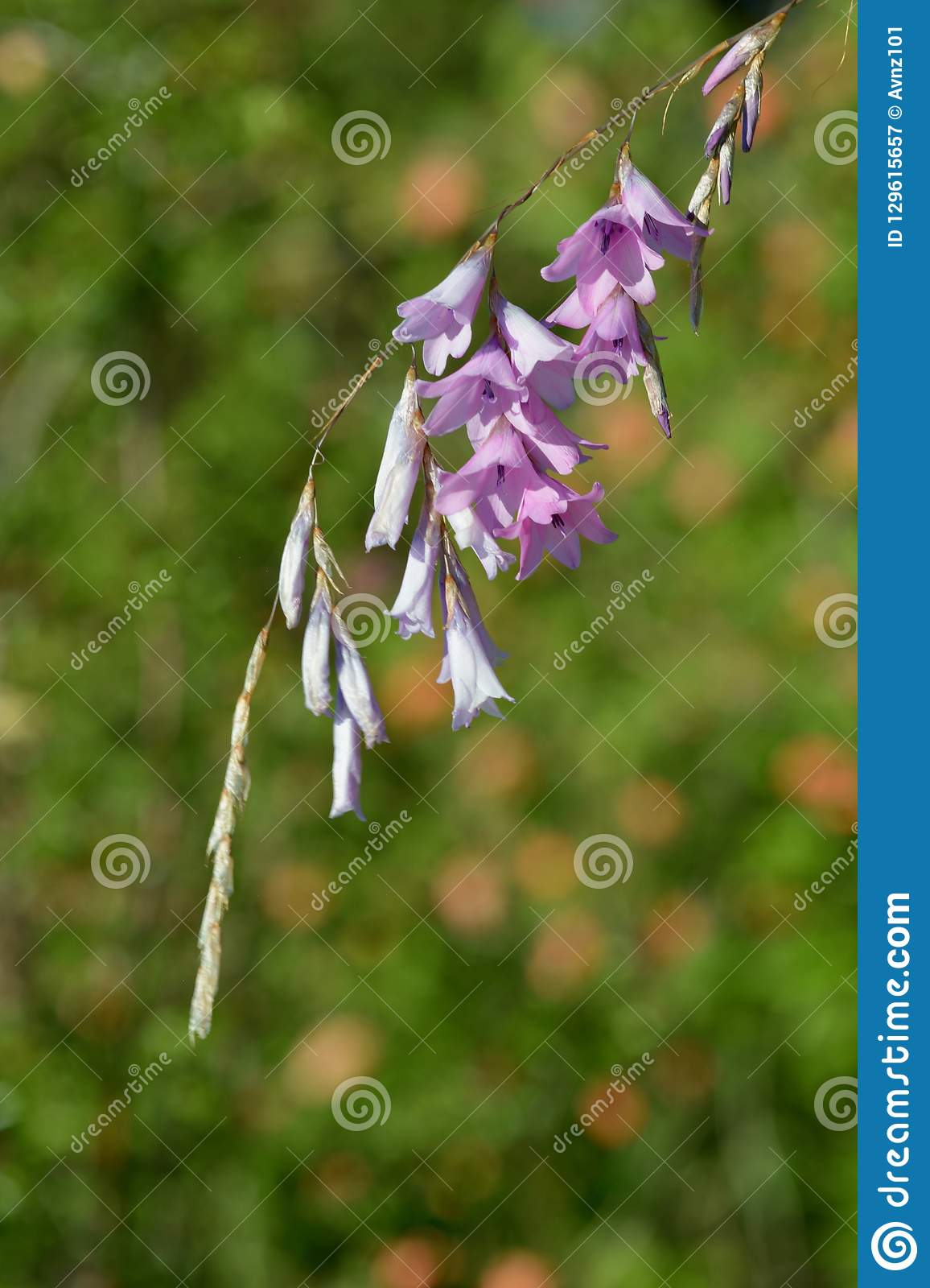 Hanging pink flowers, close up photo; flowering grass