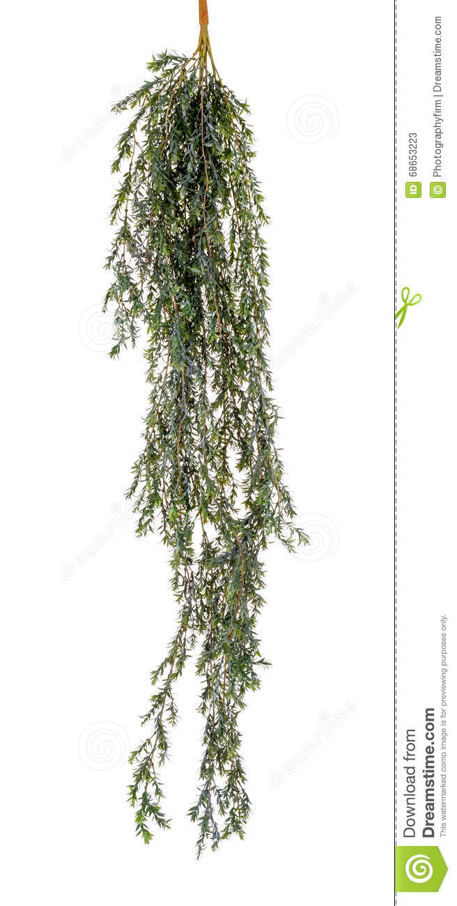 hanging plant with long stalks stock photo image 68653223
