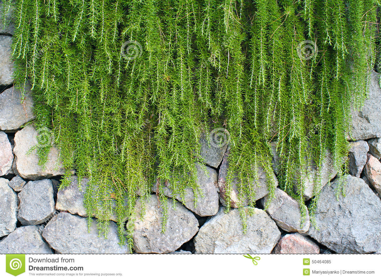 Hanging Plants On Wall From The Stones Ischia Italy Stock Image Image Of Lamortella Garden