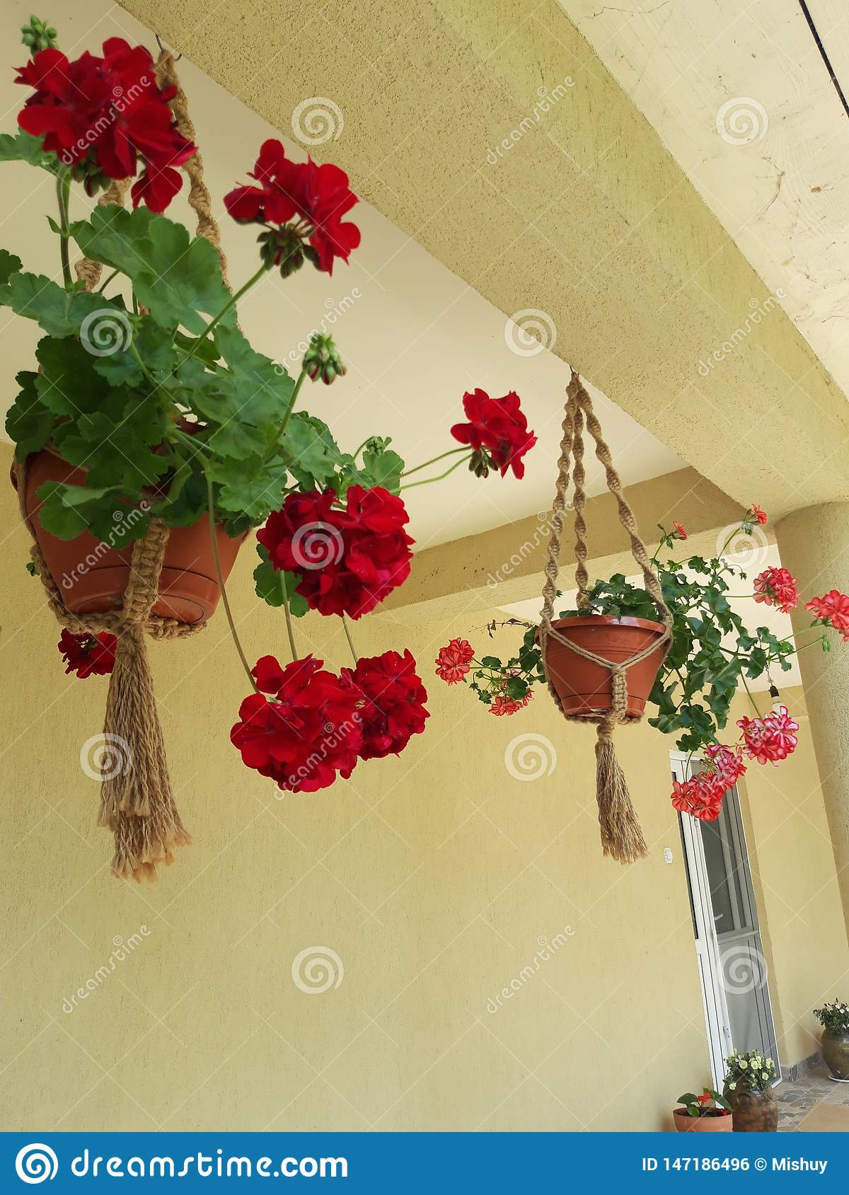 Pot of geranium hanging in Saon Monastery