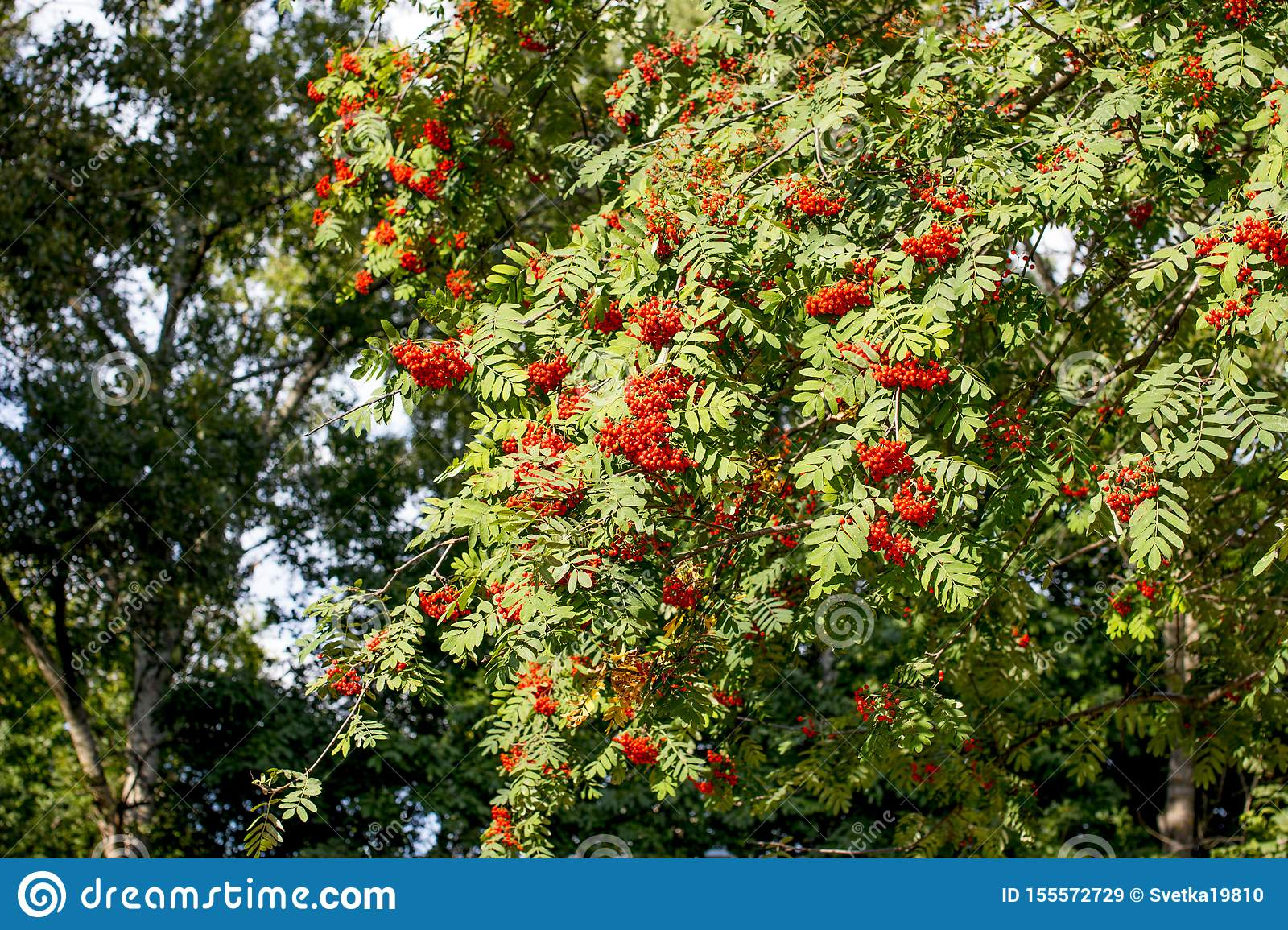 Hanging red bunch of ripe mountain ash.