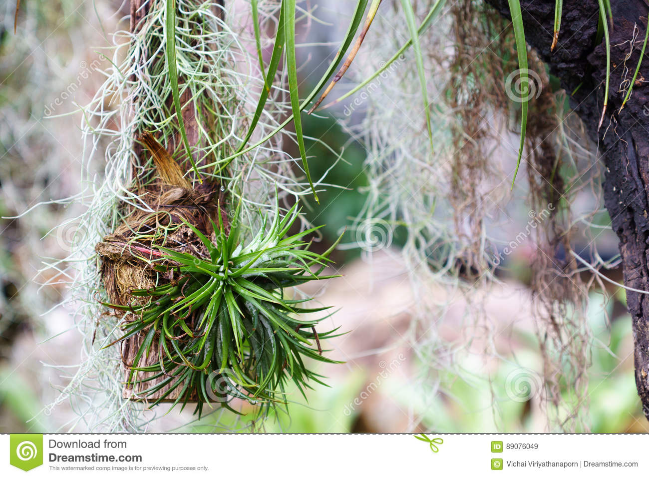 hanging tiny tillandsia and spanish moss decoration in garden