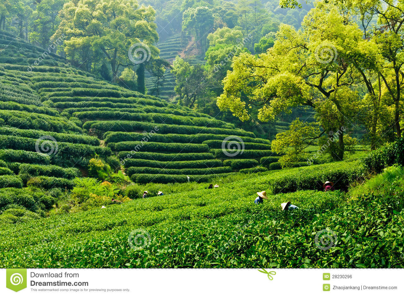 Tea Garden Royalty Free Stock Image