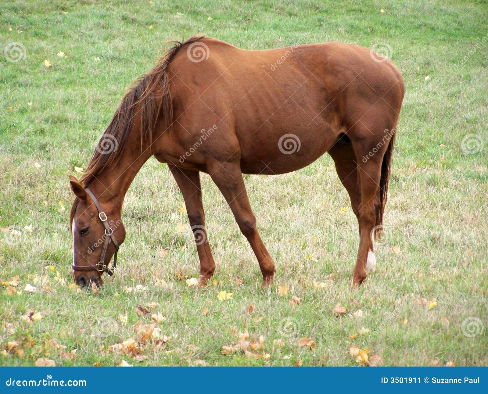 Hanoverian跑马