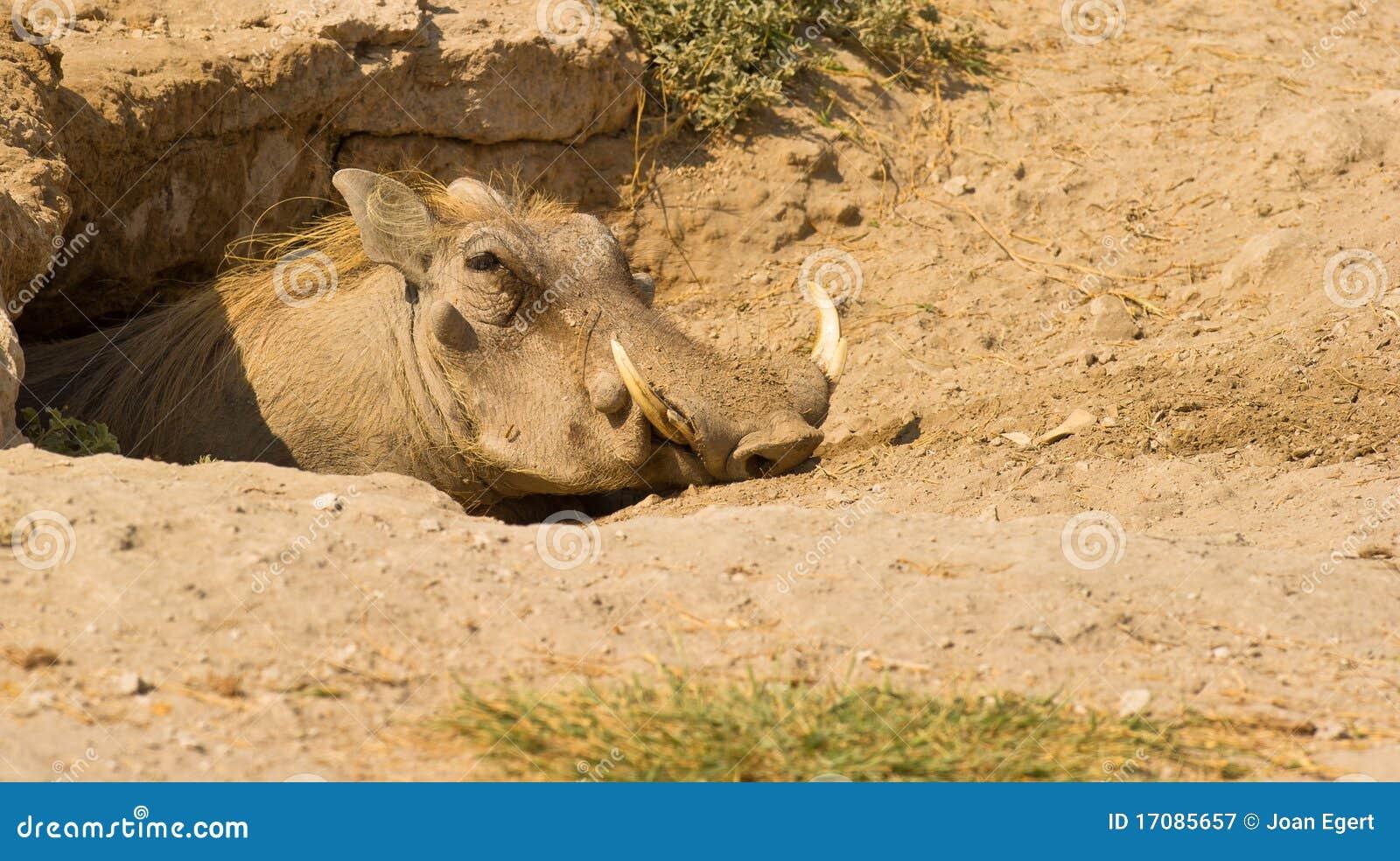 Hans home söta warthog