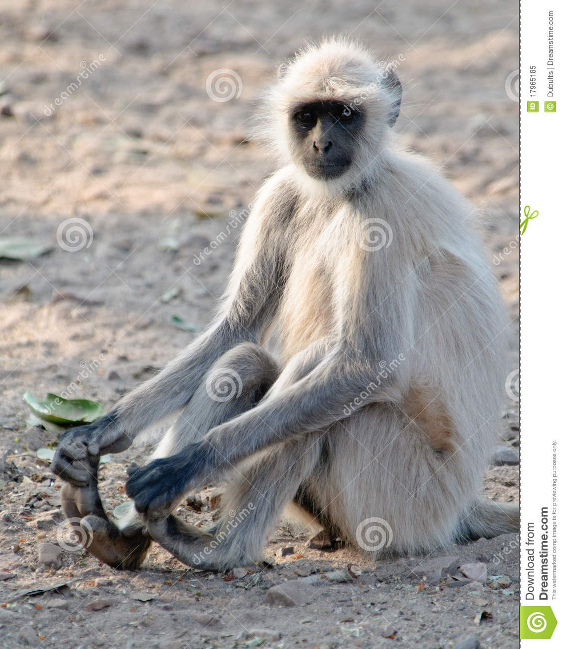 Grey Langurs Pictures, Grey Langurs Images | NaturePhoto