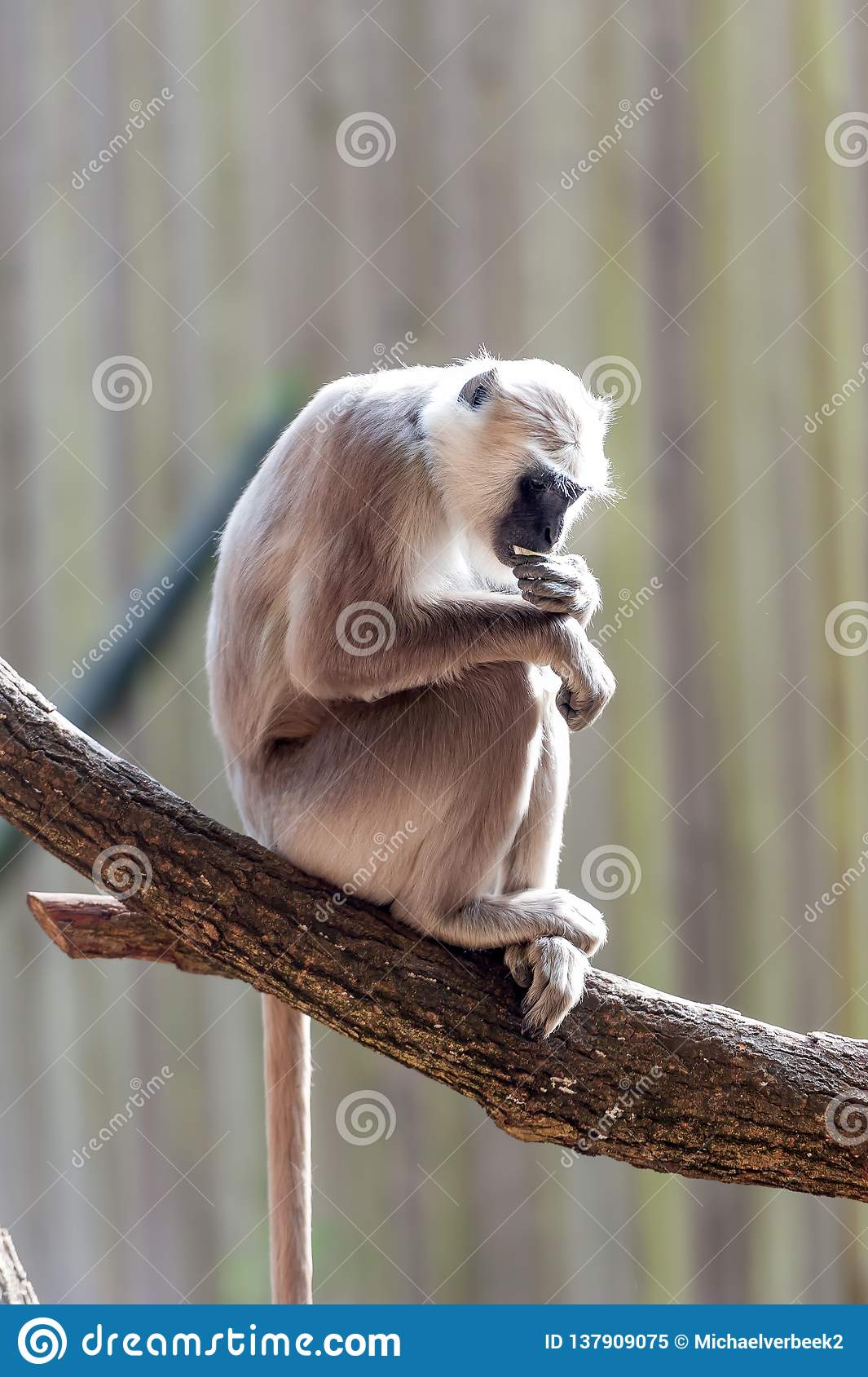 Hanuman langur in the tree thinking