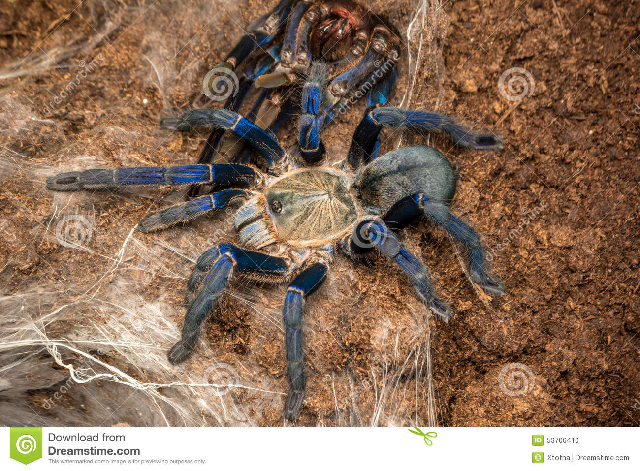 Haplopelma Lividum Stock Photo - Image: 53706410