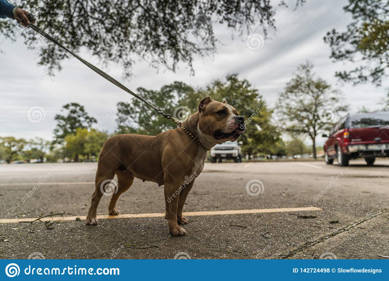 Happy American Bully dogs in the spring.