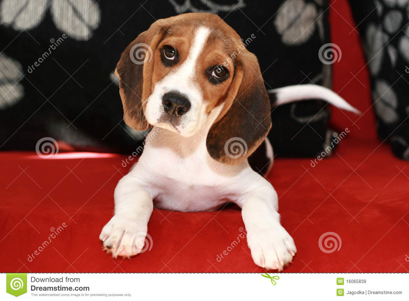 Happy Beagle Puppy Royalty Free Stock Images Image 16065839