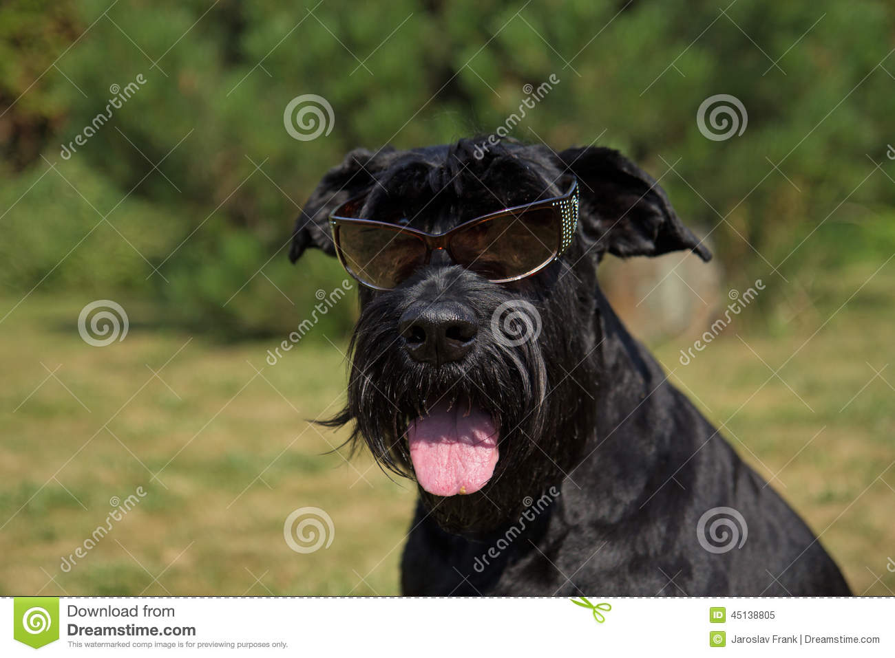Happy Big Black Schnauzer Dog