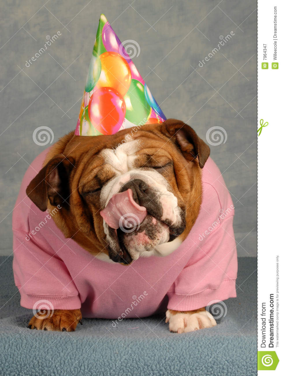 English Bulldog With Pink Shirt And Birthday Hat Tongue Sticking Out