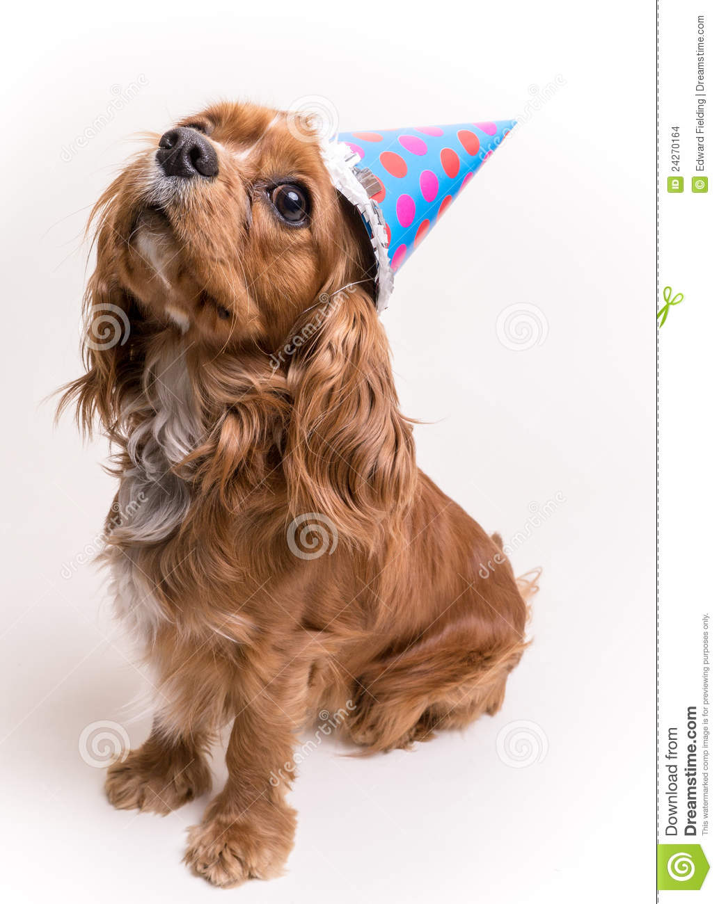 A Cavalier King Charles Spaniel Puppy With Birthday Party Hat Celebrates His First