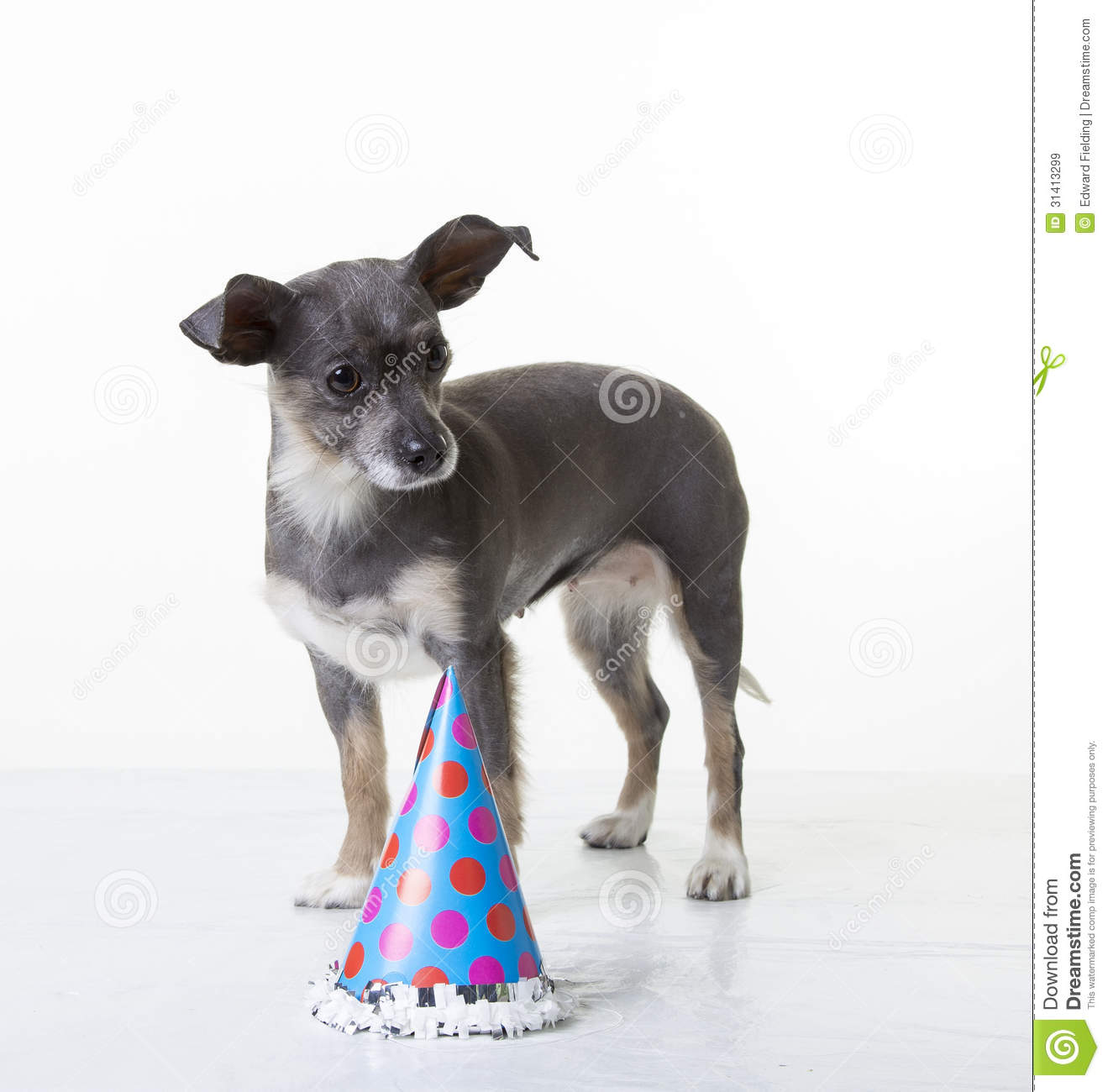 A Cute Small Little Hairless Puppy Dog Standing Near Happy Birthday Hat