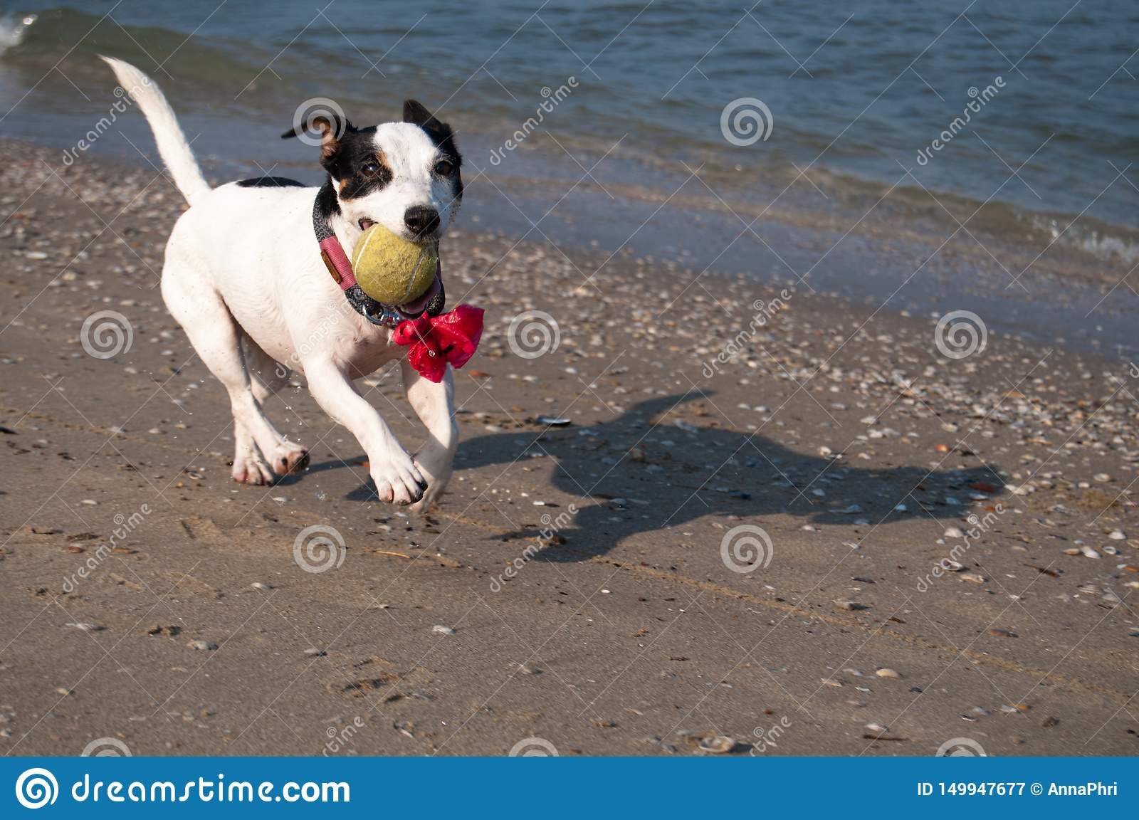 Happy black and white dog on the beach
