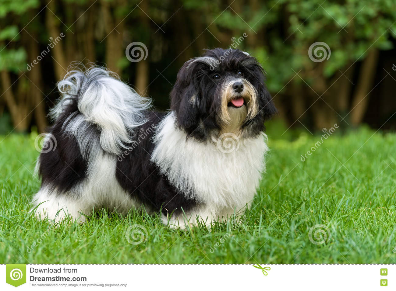 Happy Black And White Havanese Puppy Dog In The Grass Stock Photo Image Of Green Color 79334250