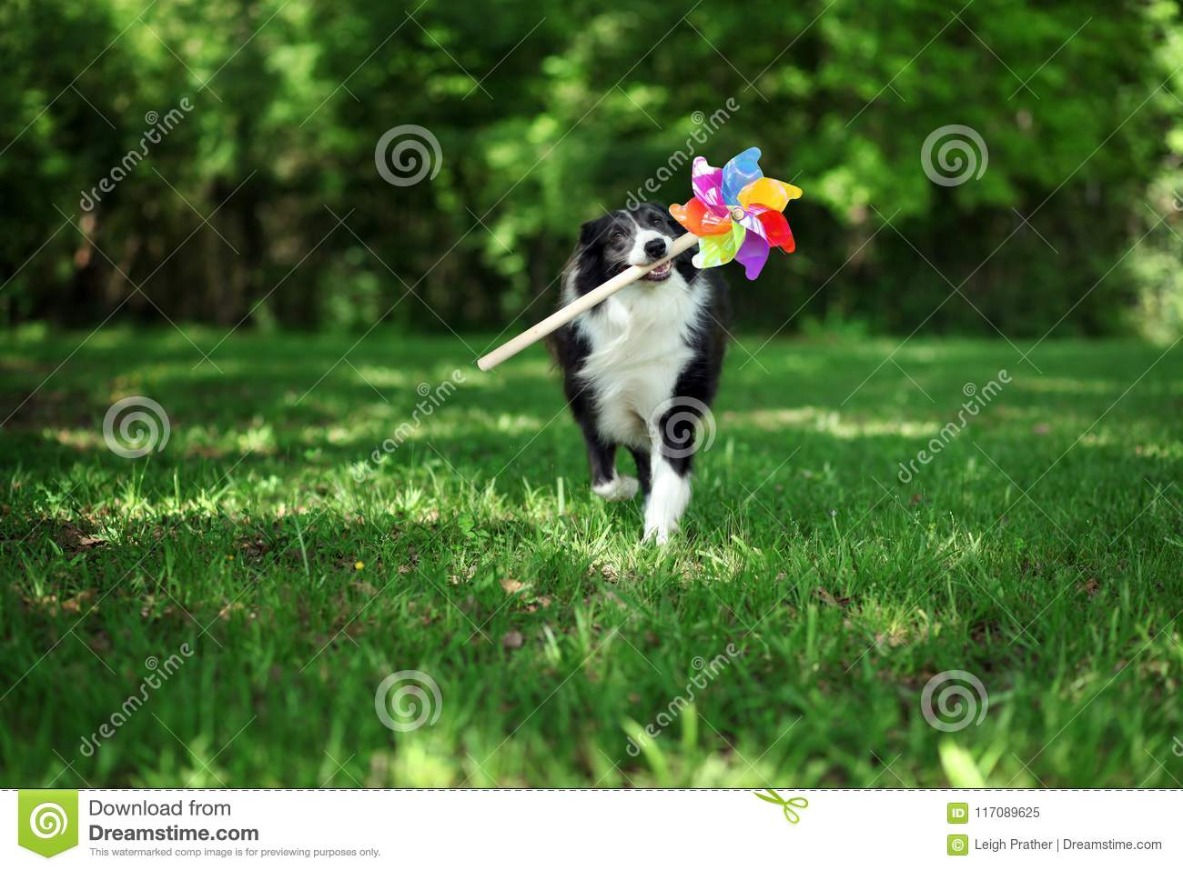 Happy Border Collie Playing With Pinwheel Stock Image Image Of