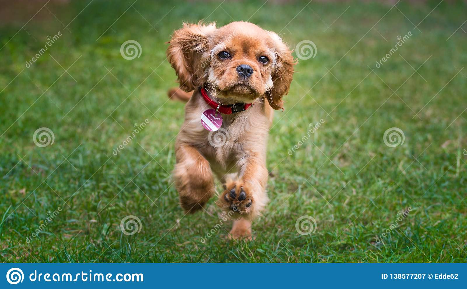 Happy Cavalier King Charles Spaniel Puppy Running Stock Image Image Of Cute Baby 138577207
