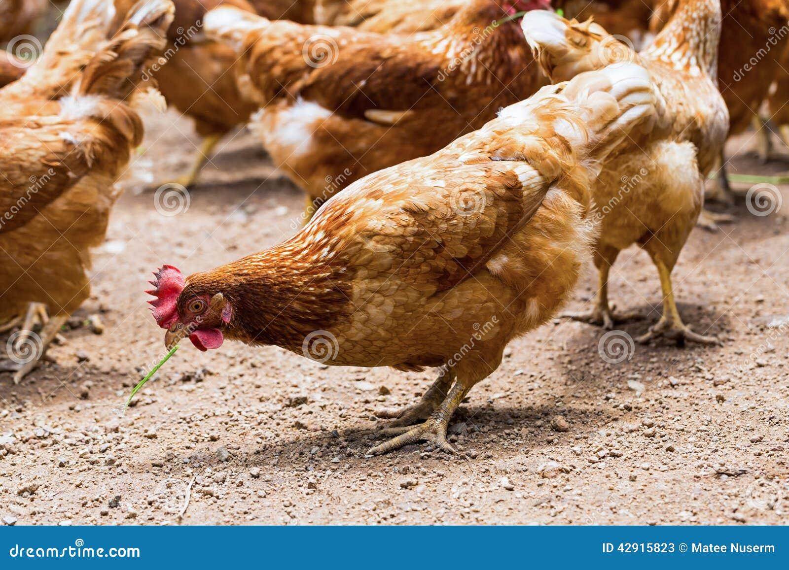cage free hens happy hens