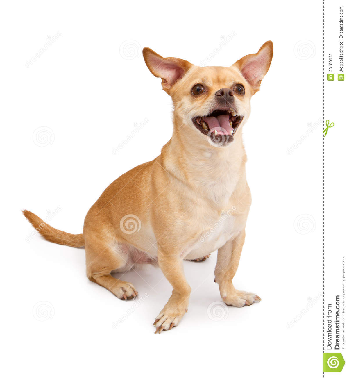 ... similar stock images of ` Happy Chihuahua and Pug Mix Dog Smiling