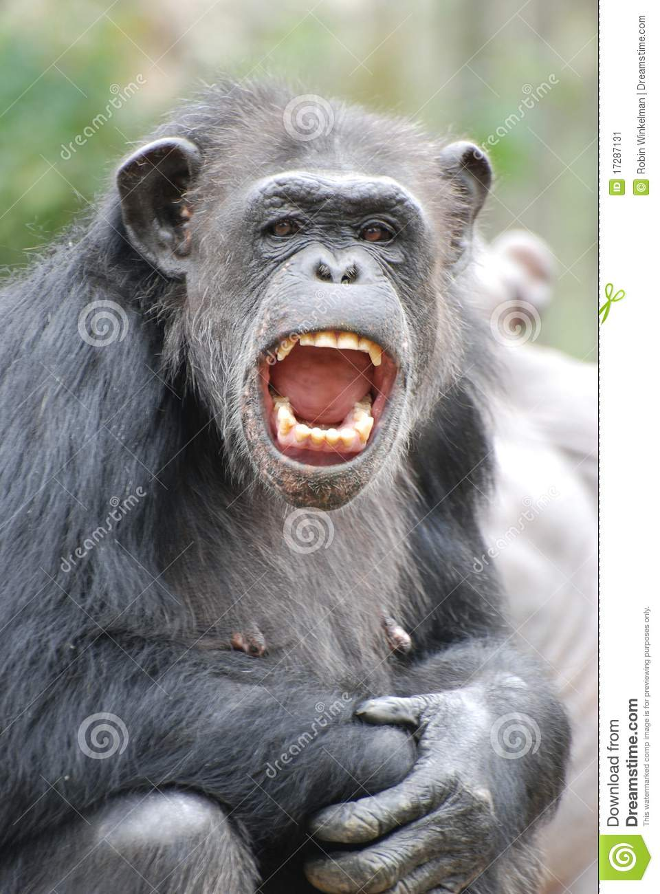 Happy Chimp Stock Image - Image: 17287131