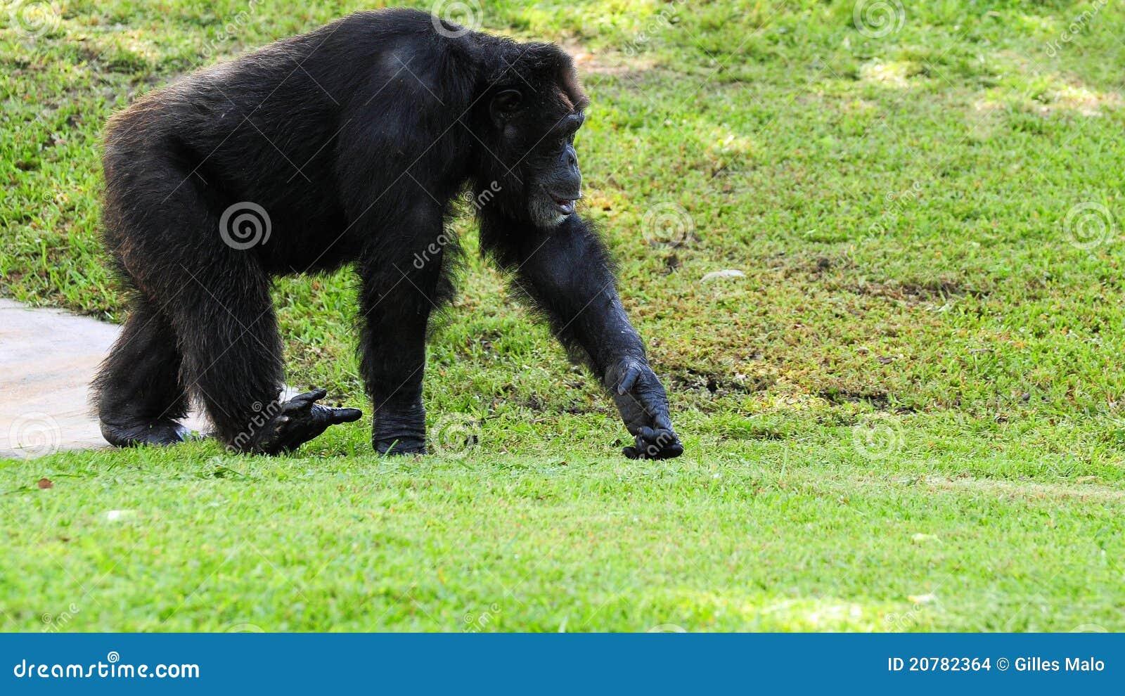 Chimpanzee Happy | www.imgkid.com - The Image Kid Has It!