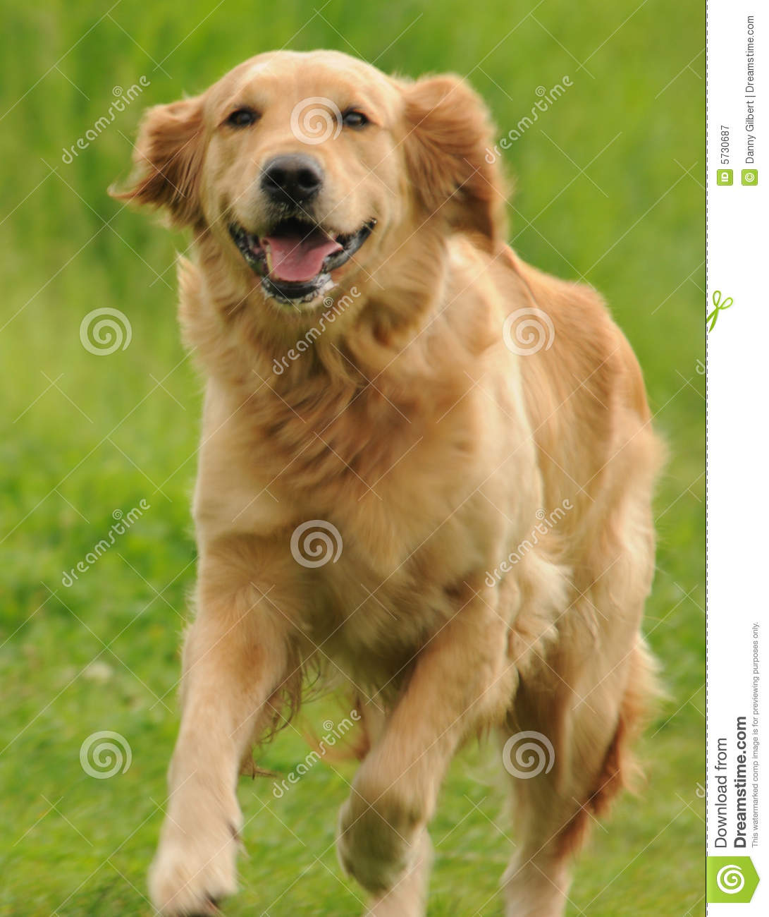 Happy Dog stock image. Image of retiever, grass, fast ... - photo#33