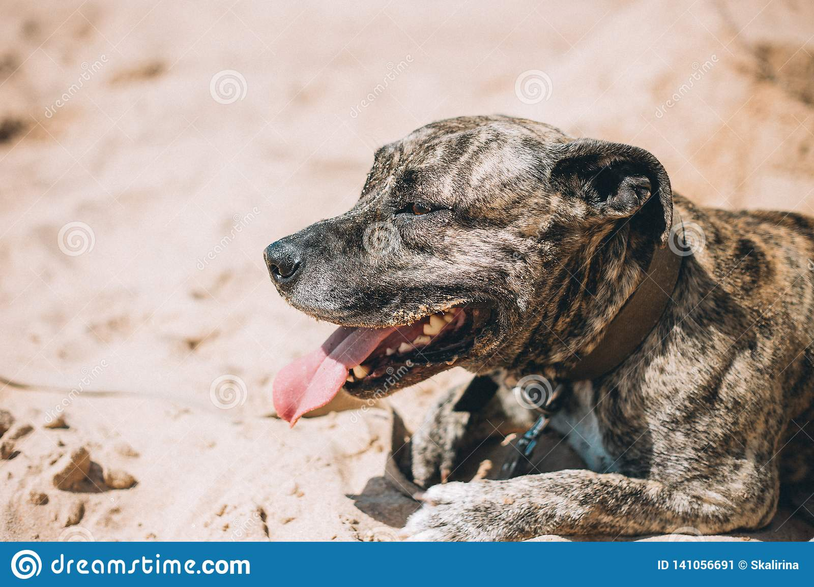 Happy dog on the beach. American staffordshire terrier