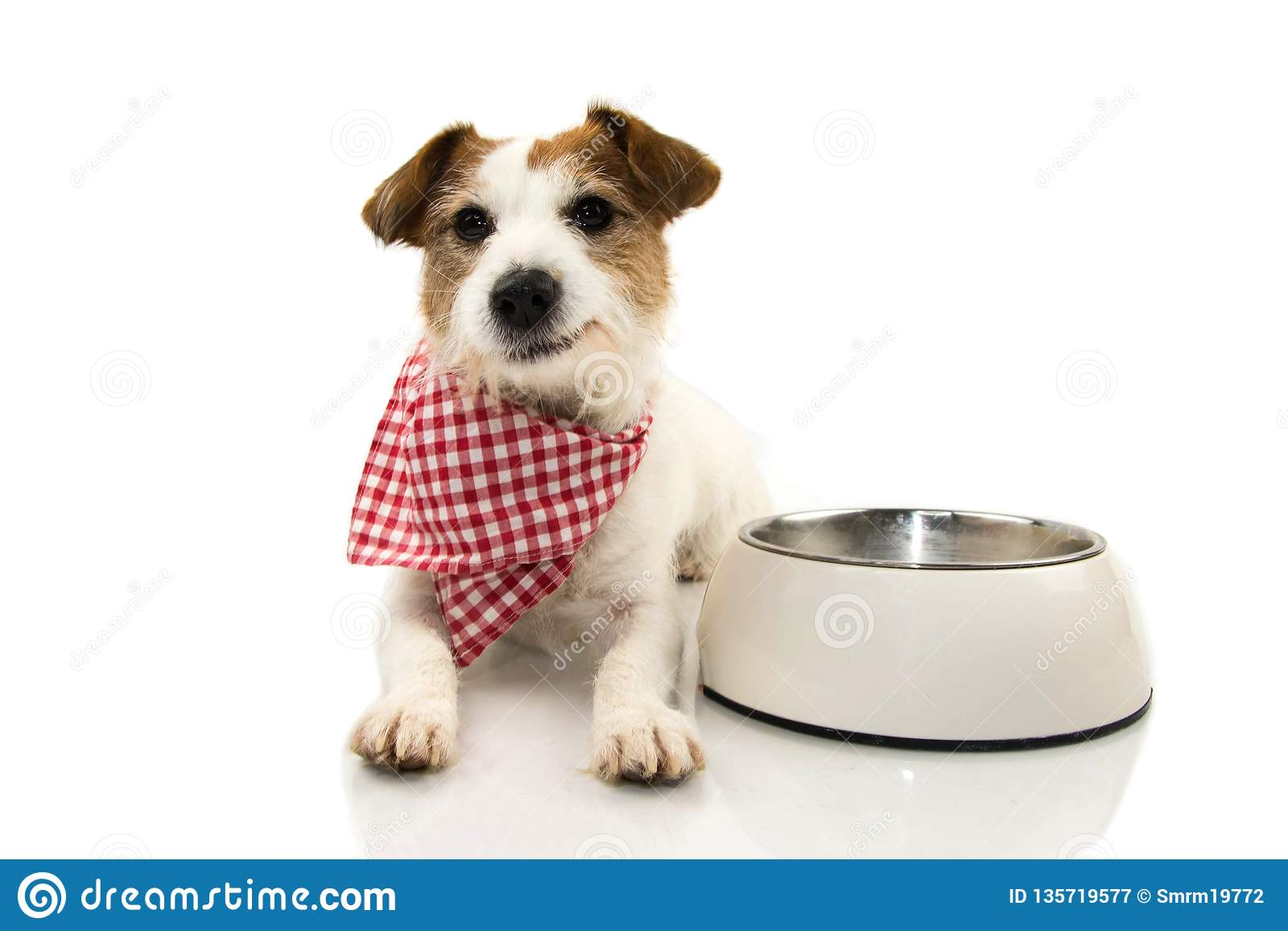 HAPPY DOG EATING FOOD. JACK RUSSELL SMILING WITH A CHECKERED NAPKIN LYING DOWN NEXT TO A EMPTY BOWL. ISOLATED SHOT AGAINST WHITE