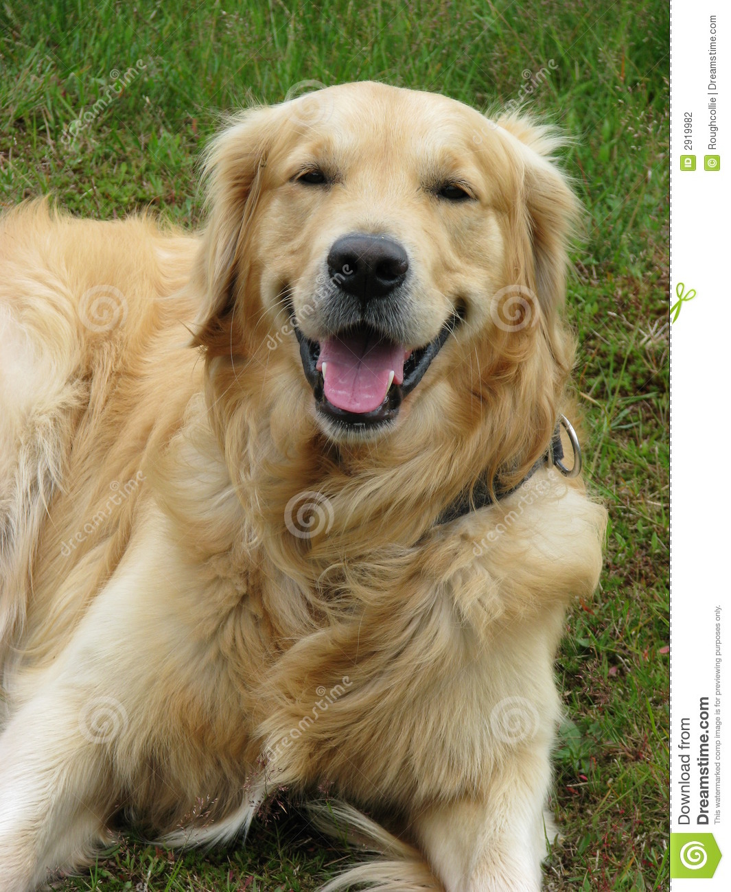 Happy Dog Golden Retriever Stock Photography - Image: 2919982 - photo#39