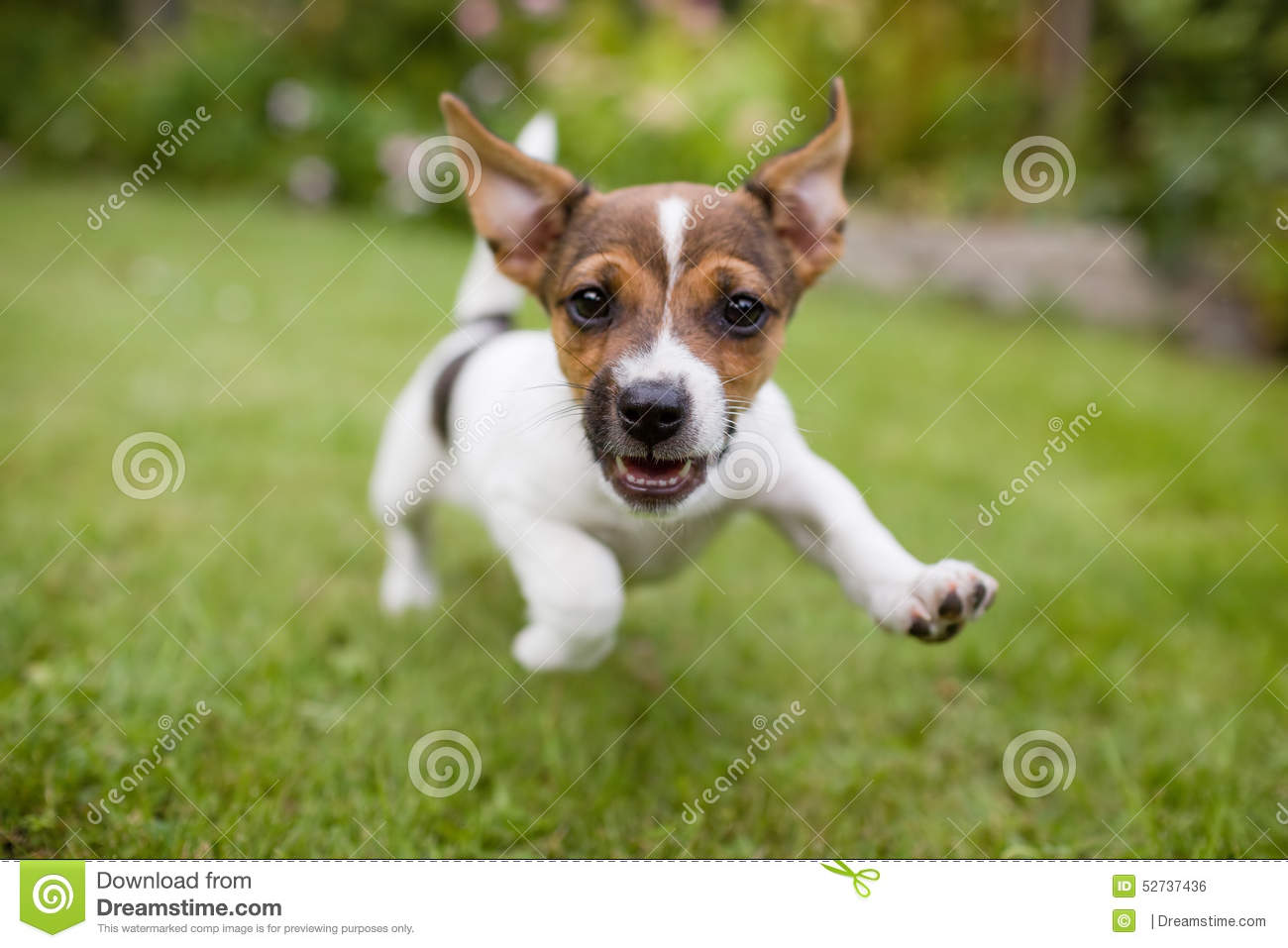 Funny Happy Running Puppy Dog Stock Photo Image Of Russel