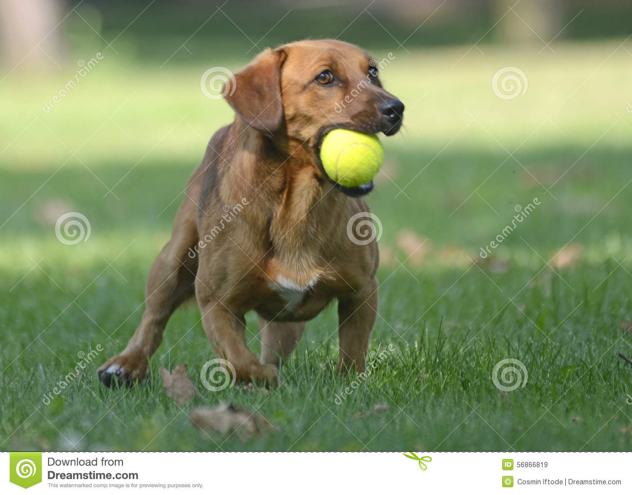 Download Happy Dog Playing With Ball Stock Image - Image of jump, plays: 56866819