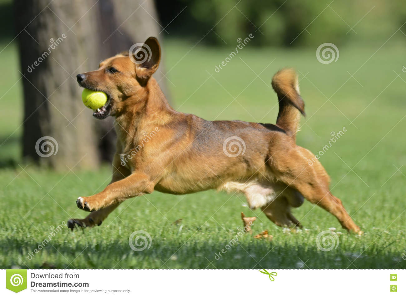Download Happy Dog Playing With Ball Stock Photo - Image of running, holiday: 75002872