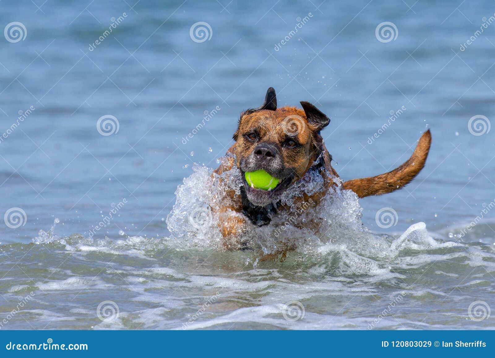 Happy Dog playing fetch on a seaside sandy beach