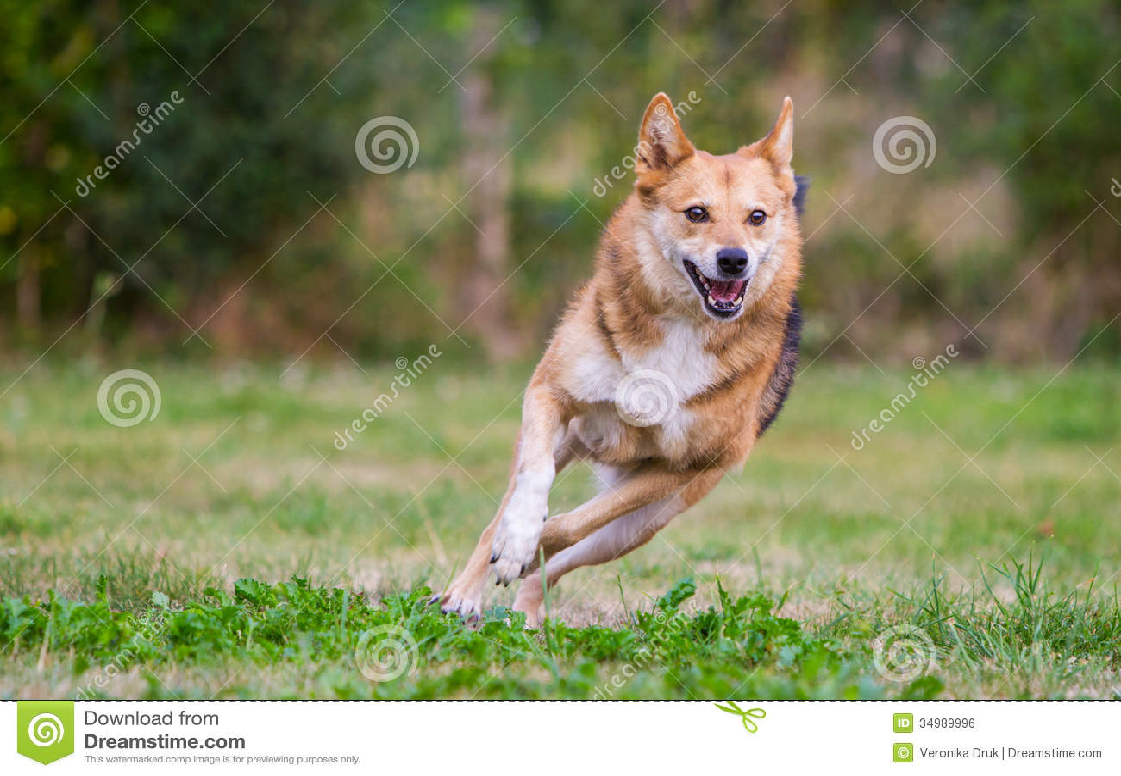 happy dog running on full speed stock photo image 34989996. Black Bedroom Furniture Sets. Home Design Ideas
