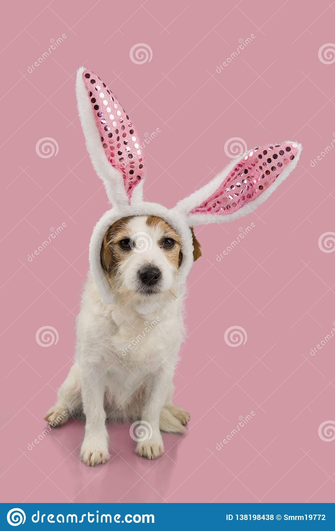 HAPPY EASTER DOG, JACK RUSSELL PUPPY DRESSED AS A BUNNY OR RABBIT, ISOLATED AGAINST PINK BACKGROUND