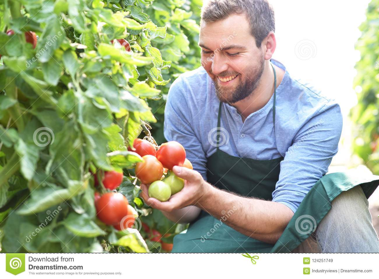 Happy farmer growing tomatoes in a greenhouse