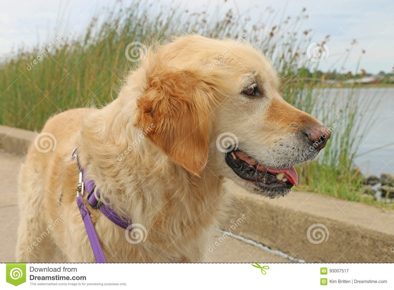 Happy golden retriever dog look out over lake