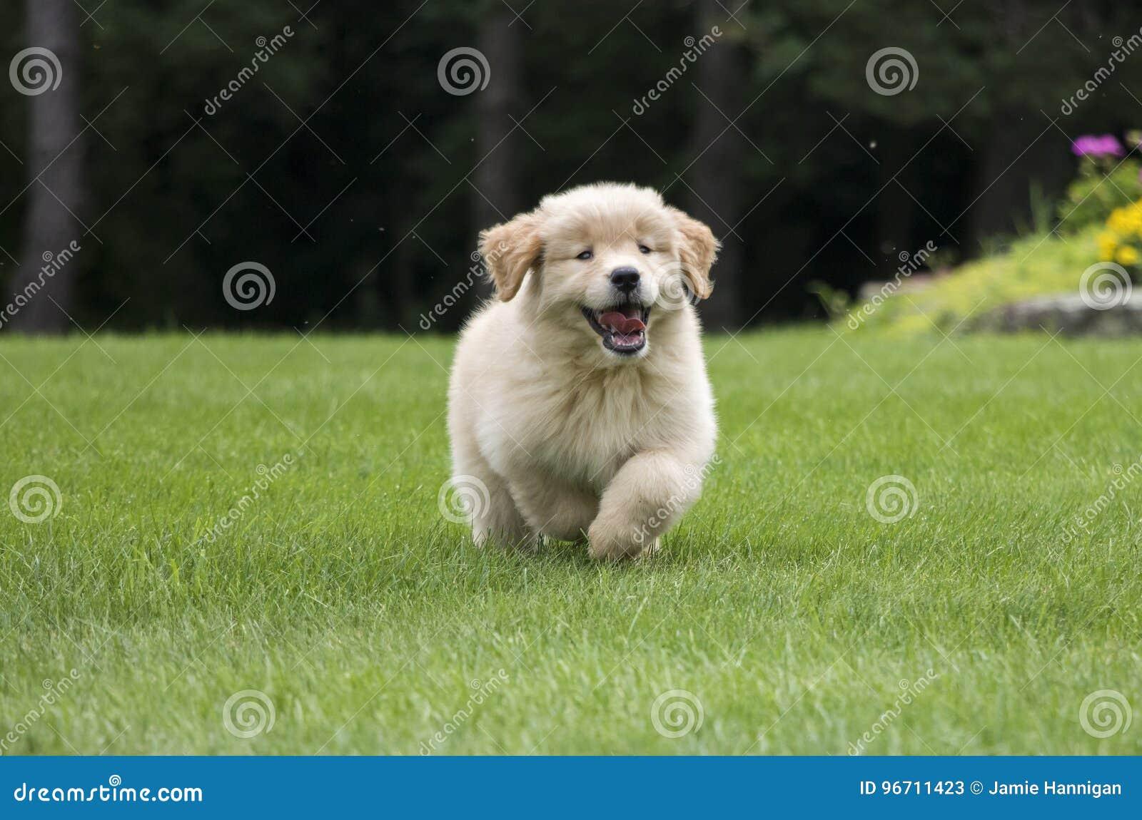 Happy Golden Retriever Puppy Running Stock Image Image Of Grass